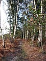 Birches at the edge of the woodland - geograph.org.uk - 1018300.jpg