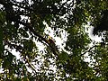 Bird White-throated Brown Hornbill Anorrhinus austeni IMG 9075 04.jpg