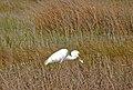 Bird great egret fort fisher state recreation area ncwetlands KG.jpg