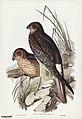 Bird illustration by Elizabeth Gould for Birds of Australia, digitally enhanced from rawpixel's own facsimile book26.jpg