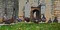 Birds at Bodiam (8268349827).jpg
