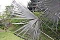 Bismarckia nobilis 23zz.jpg