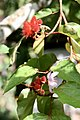 Bixa orellana (Bixaceae) (40432120220).jpg