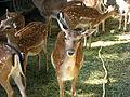 Bk antelopes, Kristiansand Zoo, Norway.jpg