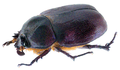 Blabephorus pinguis Fairmaire, 1898 Female (32487392731).png