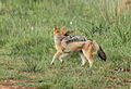 Black-backed jackal, Canis mesomelas, a young one playing with a root as a puppy plays with a ball at Rietvlei Nature Reserve, Gauteng, South Africa (15851478029).jpg