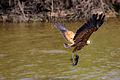 Black-collared Hawk - Gavilán Colorado (Busarellus nigricollis) (9728972567).jpg