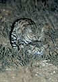 Black-footed cats mating.jpg