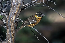 Black-headed Grosbeak Juvenile.jpg
