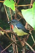 Фотография птицы с иссиня-черной спиной, черным лицом, охристым низом и красным горлом, поедающей ягоду среди растительности.