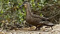 Black Duck and Ducklings (31759094760).jpg