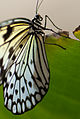 Black and White butterfly 2 (5578385075).jpg