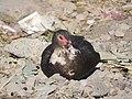 Black duck 1.jpg