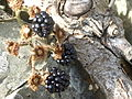 Blackberries, Kearney, September 2014.JPG