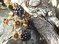 Blackberries, Kearney, September 2014.JPG
