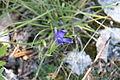 Blaue Blume Alb2.JPG
