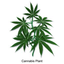 Blausen 0159 Cannabis Plant.png