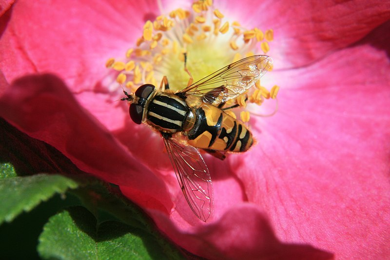 File:Blomfluga på ros.JPG