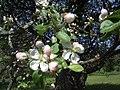 Blooming Malus.jpg
