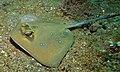 Blue-spotted Stingray (Neotrygon kuhlii) (8465011759).jpg