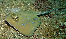 Blue-spotted Stingray (Neotrygon kuhlii) (8465011759).jpg