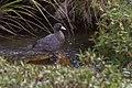 Blue Duck - New Zealand (38468659564).jpg