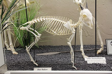 Blue duiker (Philantomba monticola) skeleton on display at the Museum of Osteology. Blue Duiker skeleton.jpg