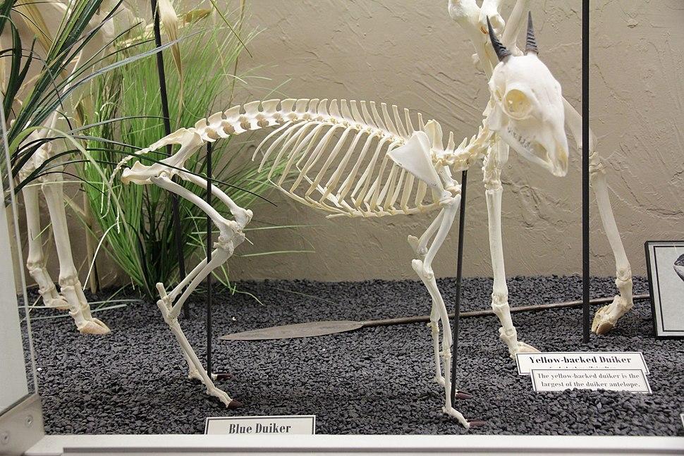 Blue Duiker skeleton