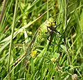 Blue Emperor, immature female. Anax imperator (44082873282).jpg