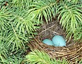 Blue eggs nest.jpg