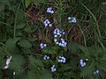 Blue flowers in a nettlebed - geograph.org.uk - 821953.jpg