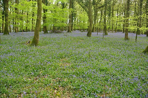 Bluebells in Plymbridge Woods (4576)