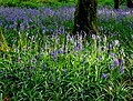 Bluebells in the woods - geograph.org.uk - 1290999.jpg