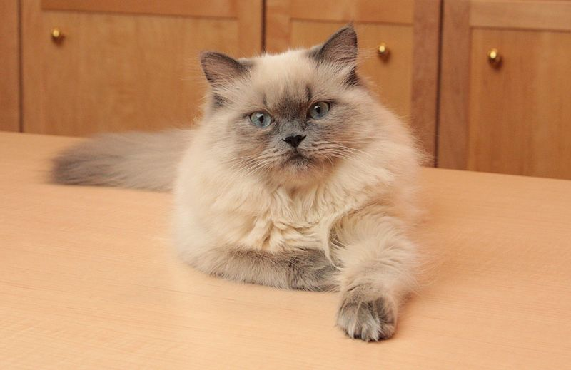 File:Bluepoint Himalayan Kitten Cirrus at 6 months by Asilverstein 2014mar14 IMG 2542b.jpg