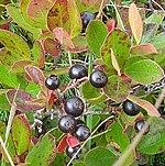 Bog huckleberry.jpg