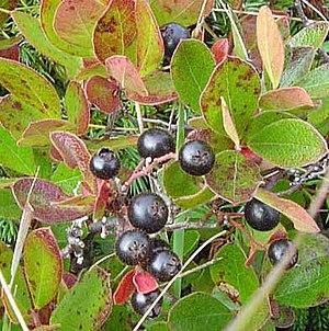 Huckleberry - Bog Huckleberry at Polly's Cove, Nova Scotia