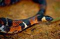 Boie's Ground Snake (Atractus badius) (10358810224).jpg