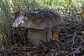 Boletus edulis 02c(js) Lodz (Poland).jpg