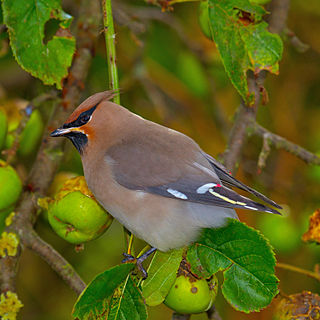 Bohemian waxwing A passerine bird from Eurasia and North America