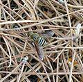 Bombyliidae. Villa sp. - Flickr - gailhampshire.jpg