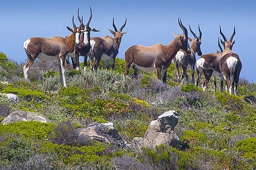 Bontebok in fynbos
