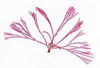 Bornetia secundiflora herbarium item.jpg