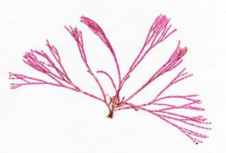 Chloroplast - Image: Bornetia secundiflora herbarium item