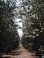 Bosque de Eucalipto Dólar.jpg