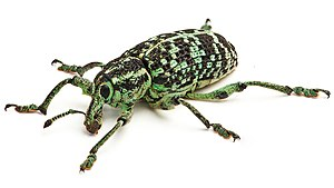 Weevil - Image: Botany Bay Weevil Feb 09