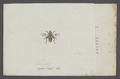 Brachypalpus - Print - Iconographia Zoologica - Special Collections University of Amsterdam - UBAINV0274 039 02 0008.tif