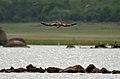 Brahminy Kite (Haliastur indus) fishing W IMG 9664.jpg