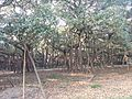 Branches of the Great Banyan, Acharya Jagadish Chandra Bose Indian Botanic Garden, Howrah.jpg