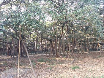 Branches of the Great Banyan, Acharya Jagadish Chandra Bose Indian Botanic Garden, Howrah.jpg