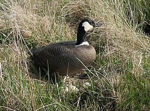 Cackling goose - B. h. minima on eggs